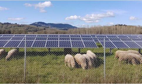 Study: Lamb grazing, solar panels a good mix